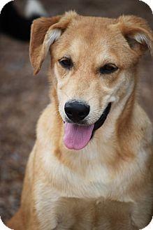 Collie/Labrador Retriever Mix Dog for adoption in Wynne, Arkansas - Spree Eakas