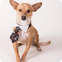 Chihuahua Mix Dog for adoption in Irving, Texas - Dash