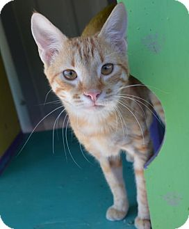 American Shorthair Cat for adoption in New Iberia, Louisiana - BUSTER