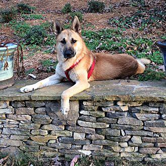 "German Shepherd Dog/Shepherd (Unknown Type) Mix Dog for adoption in Media, Pennsylvania - PHOENIX ""OUR HERO"""