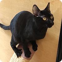 Bombay Cat for adoption in Houston, Texas - Joy