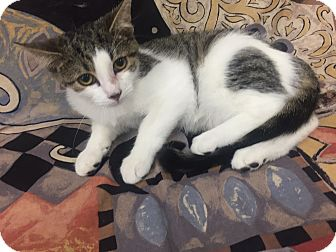 Domestic Shorthair Kitten for adoption in Highland Park, New Jersey - Ivy