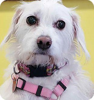 Terrier (Unknown Type, Medium) Mix Dog for adoption in Las Vegas, Nevada - Natasha