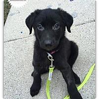 Adopt A Pet :: Lyla - Plainfield, IL