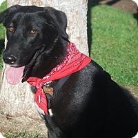 Adopt A Pet :: Star sweet gal - Redding, CA