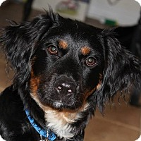 Adopt A Pet :: Charles - Lexington, KY