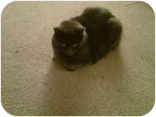 Maine Coon Cat for adoption in Warren, Ohio - Shadow