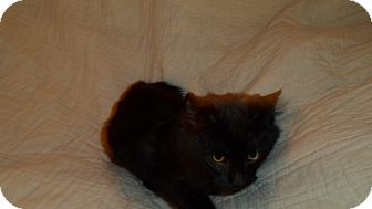 Domestic Mediumhair Cat for adoption in Hazard, Kentucky - Blackie