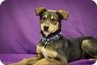 Shepherd (Unknown Type)/Rottweiler Mix Puppy for adoption in Broomfield, Colorado - Lox