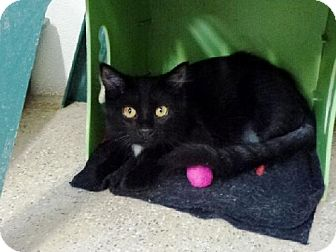 Domestic Longhair Cat for adoption in Belleville, Michigan - Leon