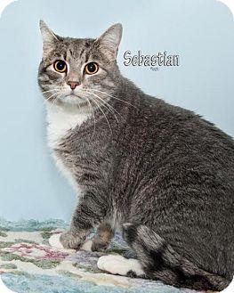 Domestic Mediumhair Cat for adoption in Fort Mill, South Carolina - Sebastian