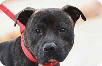 American Pit Bull Terrier Mix Dog for adoption in New Haven, Connecticut - DEUCE