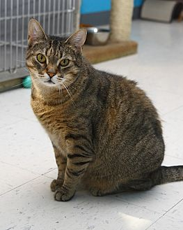 Domestic Shorthair Cat for adoption in Oakland, New Jersey - Aubrey