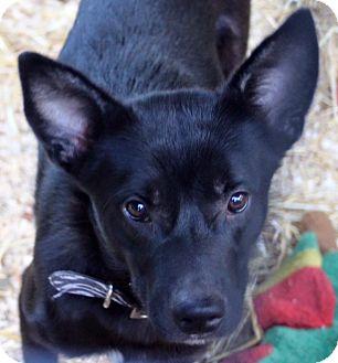 Border Collie/Shepherd (Unknown Type) Mix Dog for adoption in Bluemont, Virginia - GRANDSTAND