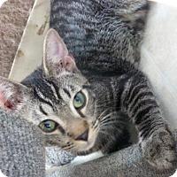Domestic Shorthair Cat for adoption in Conway, South Carolina - Daniel