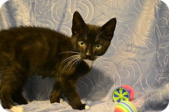 Domestic Shorthair Kitten for adoption in Oyster Bay, New York - Tin Tin