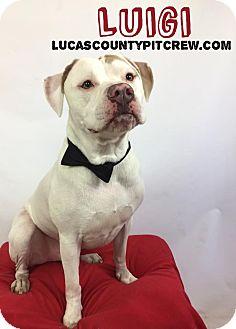 American Bulldog/American Pit Bull Terrier Mix Dog for adoption in Toledo, Ohio - Luigi