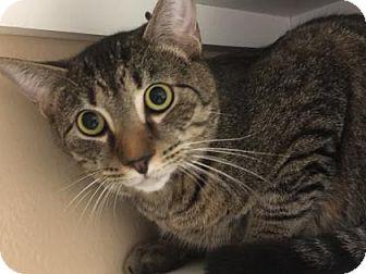 Domestic Shorthair Cat for adoption in Cumming, Georgia - Artie