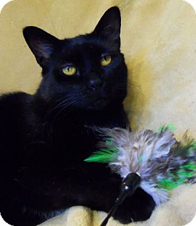 American Shorthair Cat for adoption in Spencer, New York - Coyote