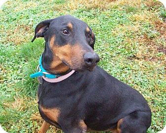 Doberman Pinscher Dog for adoption in New Richmond, Ohio - Princess--adopted!!
