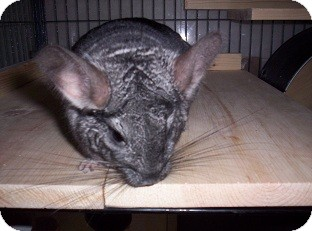 Chinchilla for adoption in Avondale, Louisiana - Gibby