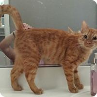 Domestic Shorthair Cat for adoption in Chandler, Arizona - Maui