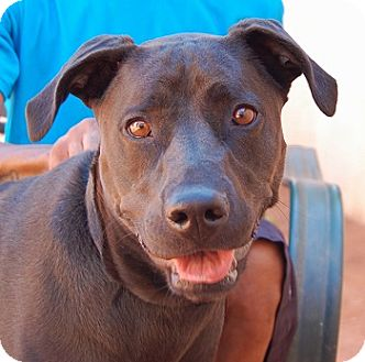 Labrador Retriever Mix Dog for adoption in Las Vegas, Nevada - Porsche