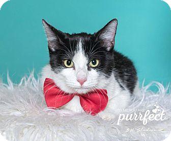 Domestic Shorthair Kitten for adoption in Houston, Texas - Dakota