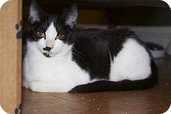 Domestic Shorthair Cat for adoption in Ellicott City, Maryland - .Sage