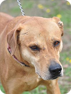 Labrador Retriever/Hound (Unknown Type) Mix Dog for adoption in Osage Beach, Missouri - Missy