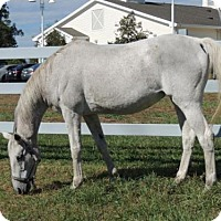 Thoroughbred for adoption in Methuen, Massachusetts - GHOST- FEE WAIVED