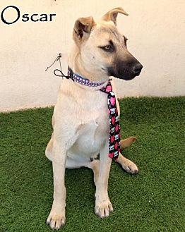 German Shepherd Dog/Labrador Retriever Mix Dog for adoption in San Diego, California - Oscar
