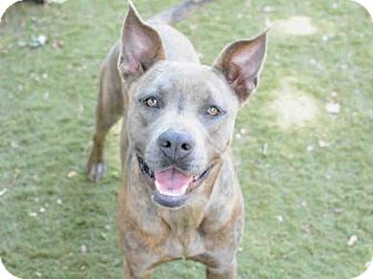 American Staffordshire Terrier Mix Dog for adoption in Tallahassee, Florida - AUTUMN