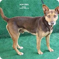 Adopt A Pet :: A091986 - Hanford, CA