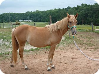 Haflinger Mix for adoption in York, South Carolina - Triscuit