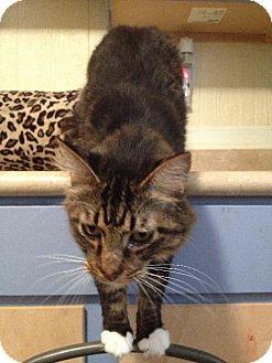 Domestic Longhair Cat for adoption in Arlington/Ft Worth, Texas - Jasmine
