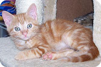 Domestic Shorthair Kitten for adoption in Troy, Michigan - Glinda