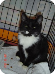 Munchkin Cat for adoption in Medford, New Jersey - Magnificat