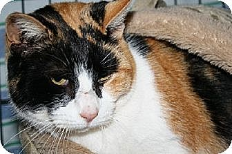 Calico Cat for adoption in Jenkintown, Pennsylvania - Jewels