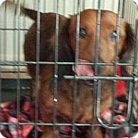 Adopt A Pet :: Bratwurst - Phoenix, AZ