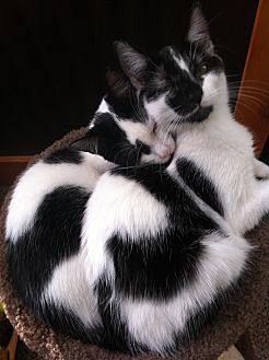 Domestic Shorthair Cat for adoption in Bryn Mawr, Pennsylvania - Selina and Sofia/ BONDED PAIR