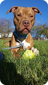 Pit Bull Terrier Mix Dog for adoption in Boston, Massachusetts - RIKER