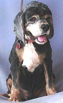 Cocker Spaniel Dog for adoption in Santa Barbara, California - Asher