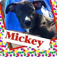 Adopt A Pet :: Mickey - Scottsdale, AZ