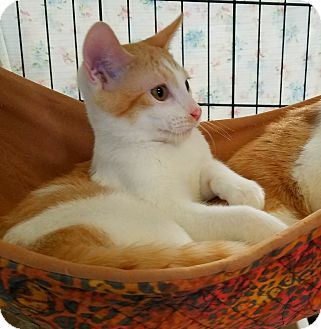 Domestic Shorthair Kitten for adoption in Fallbrook, California - Roy