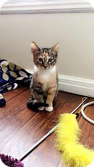 Domestic Shorthair Kitten for adoption in Los Angeles, California - Kissou