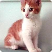 Adopt A Pet :: Pumpkin - Kirkwood, DE