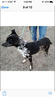 Catahoula Leopard Dog Mix Puppy for adoption in Elk Grove, California - CHAYTON
