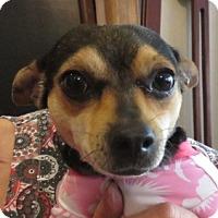 Adopt A Pet :: Mia! LOVE! - St Petersburg, FL