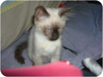 Siamese Kitten for adoption in Lake Charles, Louisiana - Thomas O'Malley